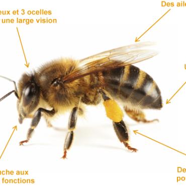 anatomie_abeille