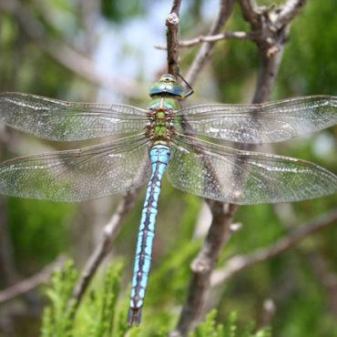 libellule-163242